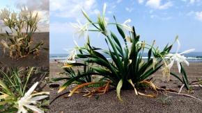 Beyaz Kum Zambağı (Pancratimum Maritimum)