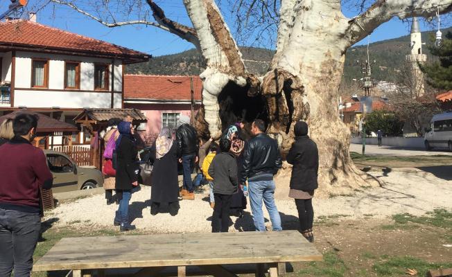 700 Yıllık Çınar Ağacına Yoğun İlgi