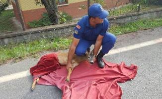 Karapürçekte Yaralı Karacaya Jandarma Şefkati