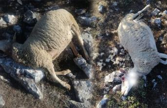 Her yerde koyunlarını arıyor