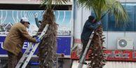 Karasu'da Palmiyelere Yazlık Bakım