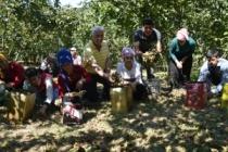 Batı Karadeniz'de Fındık Hasatı Başladı