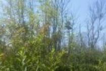 Acarlar Longozunda Ağaçlar Kurudu