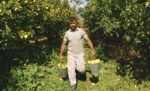 Geyve'de ayva hasadı başladı.