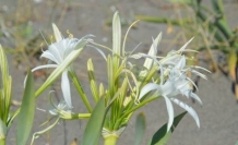 Kocaali Sahilinde Kum Zambakları Çiçek Açtı