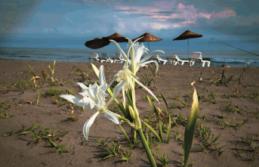 Kum Zambaklarının görsel şöleni