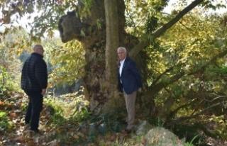 Tarihi Çınar ağaçlarına Karasu Belediyesi sahip...