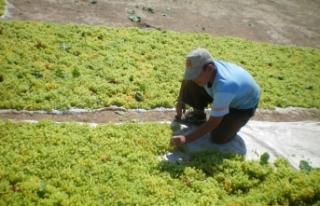 Kuru üzüm ihracatçıları TMO ile güçbirliğinin...