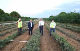 Tam 220 bin adet Botanik Vadisi'nde biberiye hasadı başladı