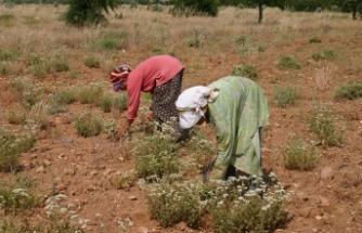 Kekik Cenneti Türkiye'den 69 milyon dolarlık ihracat