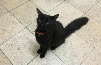 Kırmızı Tasmalı Bombay Cinsi Kedi'nin Sahibi Aranıyor
