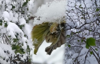 Tunca ; Fındık için don uyarısı yaptı!