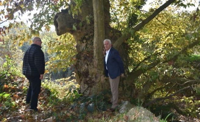 Tarihi Çınar ağaçlarına Karasu Belediyesi sahip çıktı